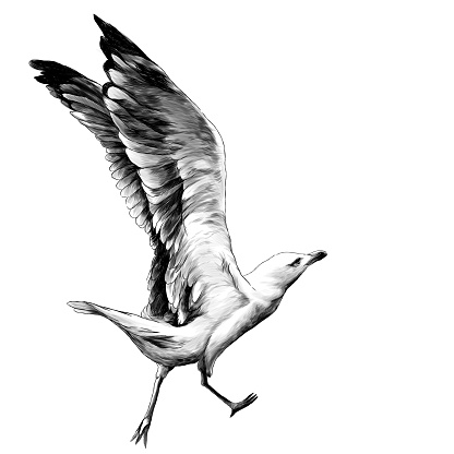 Seagull with raised wings runs and prepares to fly