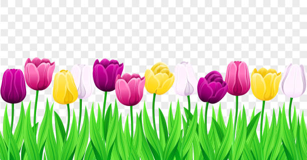 Seamless Row Of Vector Colorful Tulips With Leaves. Set Of Isolated Spring Flowers. Seamless Row Of Vector Colorful Tulips With Leaves. Set Of Isolated Spring Flowers. Collection Of Beautiful Multi-Color Tulip Buds And Blooming Flowers For Festive Design, Transparent Background. springtime stock illustrations