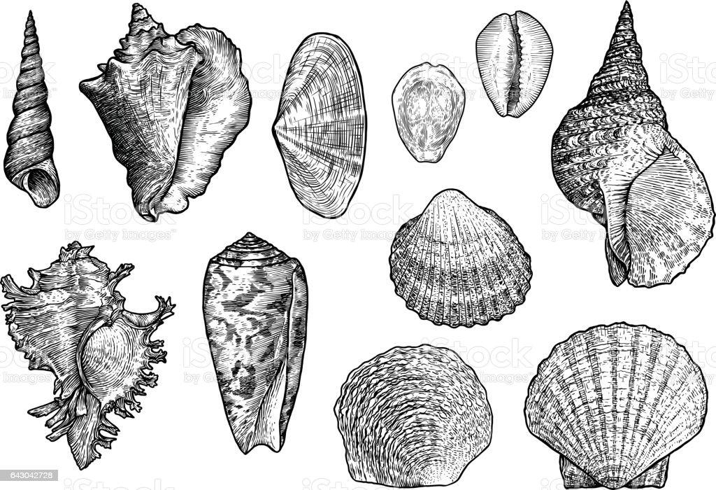 Seashell collection, engraving, illustration, drawing collection vector art illustration