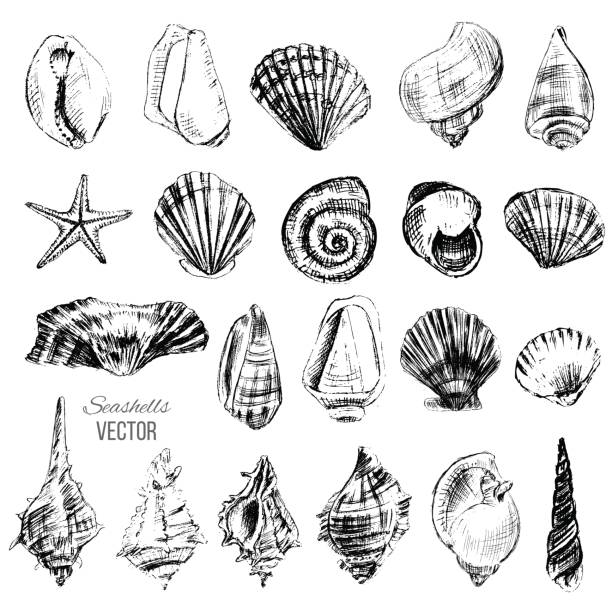 seashell hand drawn vector graphic etching sketch isolated on white background, collection underwater artistic marine element design for greeting card, print design, cover page magazine, scrapbooking - seashell stock illustrations, clip art, cartoons, & icons