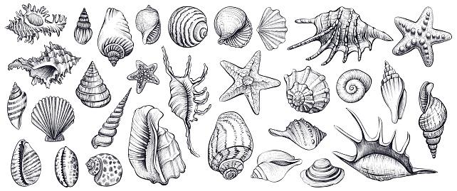Seashells vector set. Hand drawn illustrations.