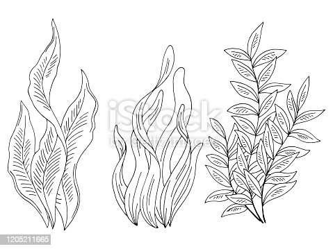 Seaweed set graphic black white isolated sketch illustration vector