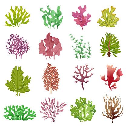 Seaweed set. Sea plants, ocean algae and aquarium kelp. Underwater seaweeds vector isolated collection