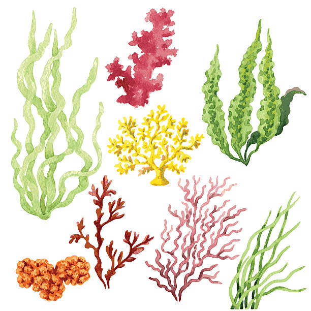 stockillustraties, clipart, cartoons en iconen met seaweed set - zeewier