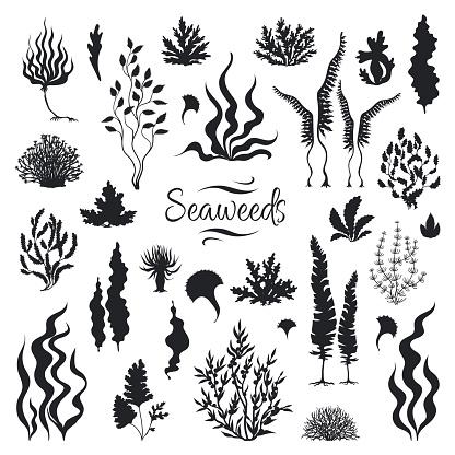 Seaweeds silhouettes. Underwater coral reef, hand drawn sea kelp plant, isolated marine weeds. Vector sketch aquarium seaweeds