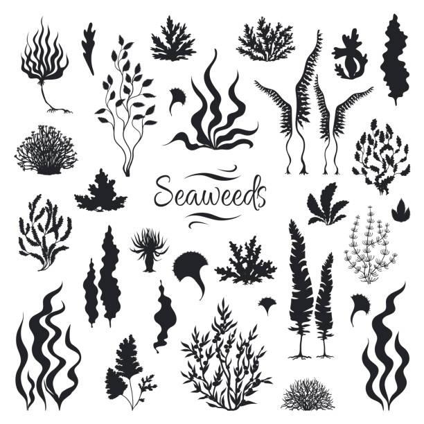silhouetten der algen. unterwasserkorallenriff, handgezogene seekelapfpflanze, isoliertes meereskraut. vektor-skizze algen - algen stock-grafiken, -clipart, -cartoons und -symbole