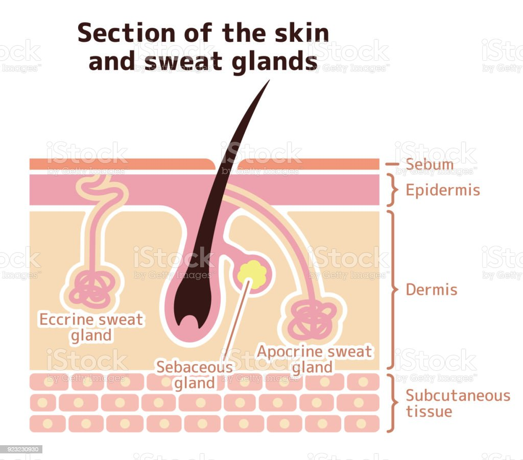 Section Of The Skin And Sweat Glands Stock Vector Art More Images