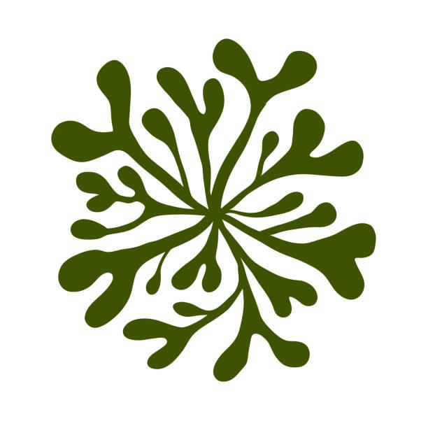 seeweed Ulva green algae vector art illustration