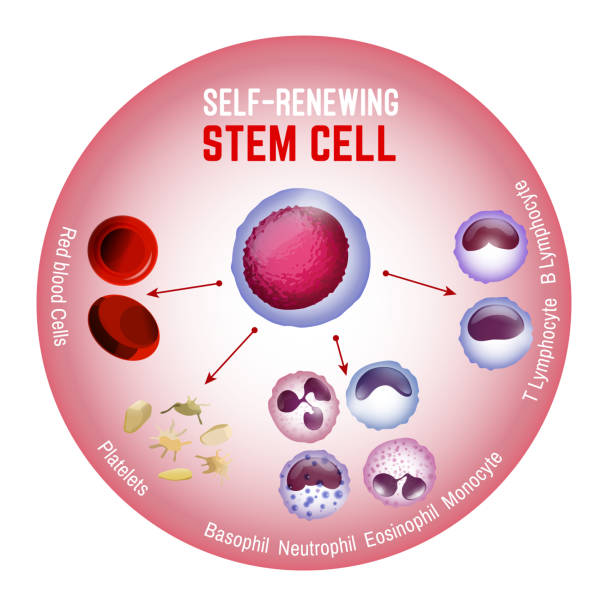 Self-renewing stem cell Self-renewing stem cell. Blood cells types. Editable vector illustration isolated on white background. Erythrocytes, plateletes, leukocytes, lymphocytes, monocytes and more. Educational medical poster. stem cell stock illustrations