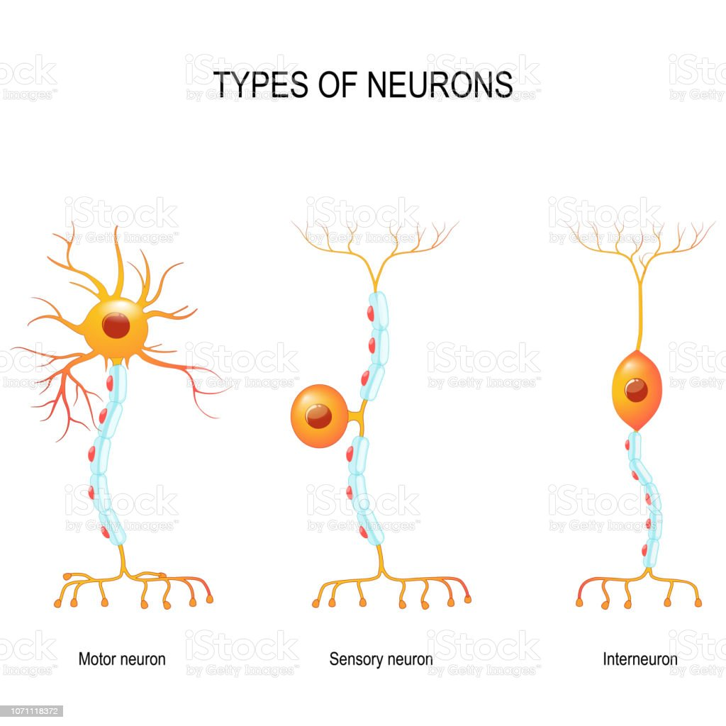 sensory and motor neurons, and interneuron. types of neurons: sensory and motor neurons, and interneuron. Humans nervous system. Vector diagram for educational, biological, medical and science use Anatomy stock vector