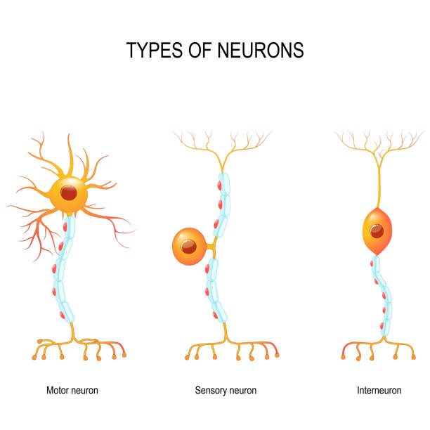 sensory and motor neurons, and interneuron. types of neurons: sensory and motor neurons, and interneuron. Humans nervous system. Vector diagram for educational, biological, medical and science use neurons stock illustrations