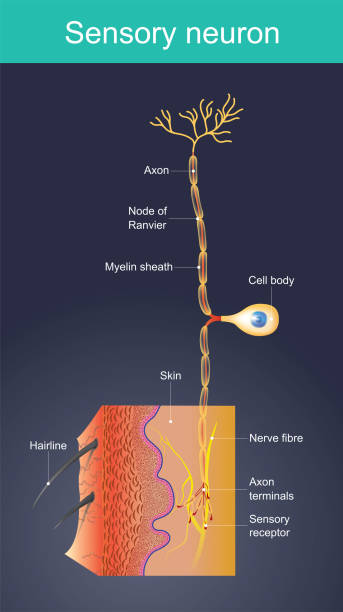 Sensory neuron. Cells act as external stimuli in different environments. Cells act as external stimuli in different environments. change to act as internal stimuli.  When the senses are sent signal information to the nervous system. Which will eventually reach the brain or spinal cord. motor neuron stock illustrations