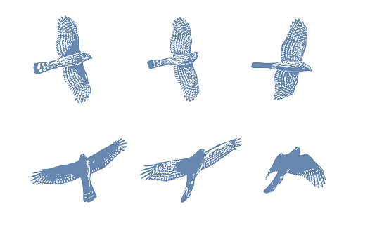 Sequential illustrations of a Cooper's Hawk flying
