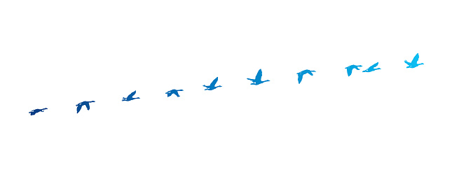 Sequential series vector of Canada Goose flying