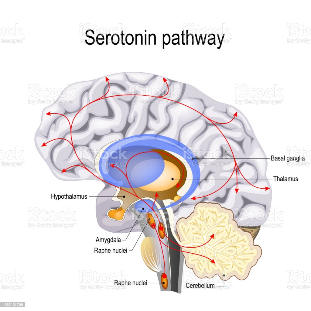 Serotonin pathway vector art illustration