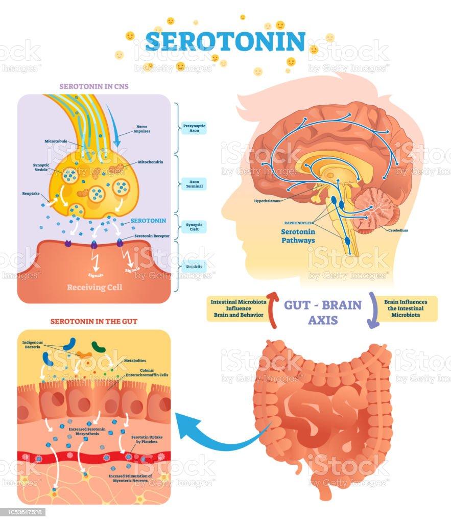 Serototin Vector Illustration Labeled Diagram With Gut Brain Axis