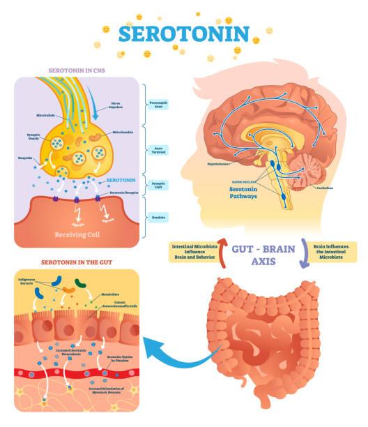 Serototin vector illustration. Labeled diagram with gut brain axis and CNS. Serototin vector illustration. Labeled diagram with gut brain axis and CNS. Intestinal microbiota influence brain behavior and intestinal cycle. Educational infographic. neurotransmitter stock illustrations