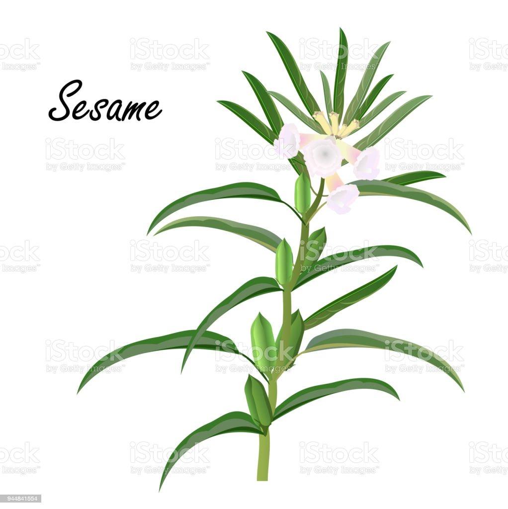 Prächtig Sesampflanze Vektorillustration Stock Vektor Art und mehr Bilder #TF_18
