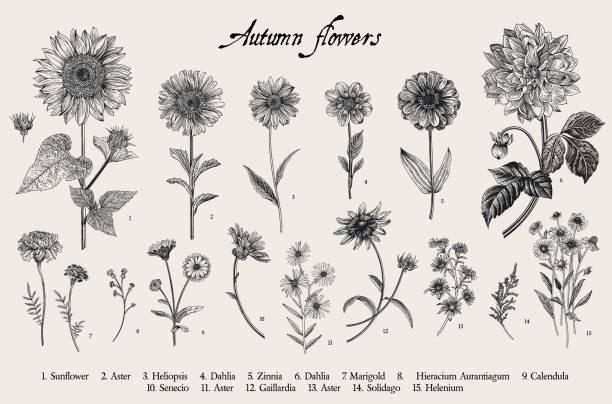 84 Blanket Flower Illustrations Clip Art Istock