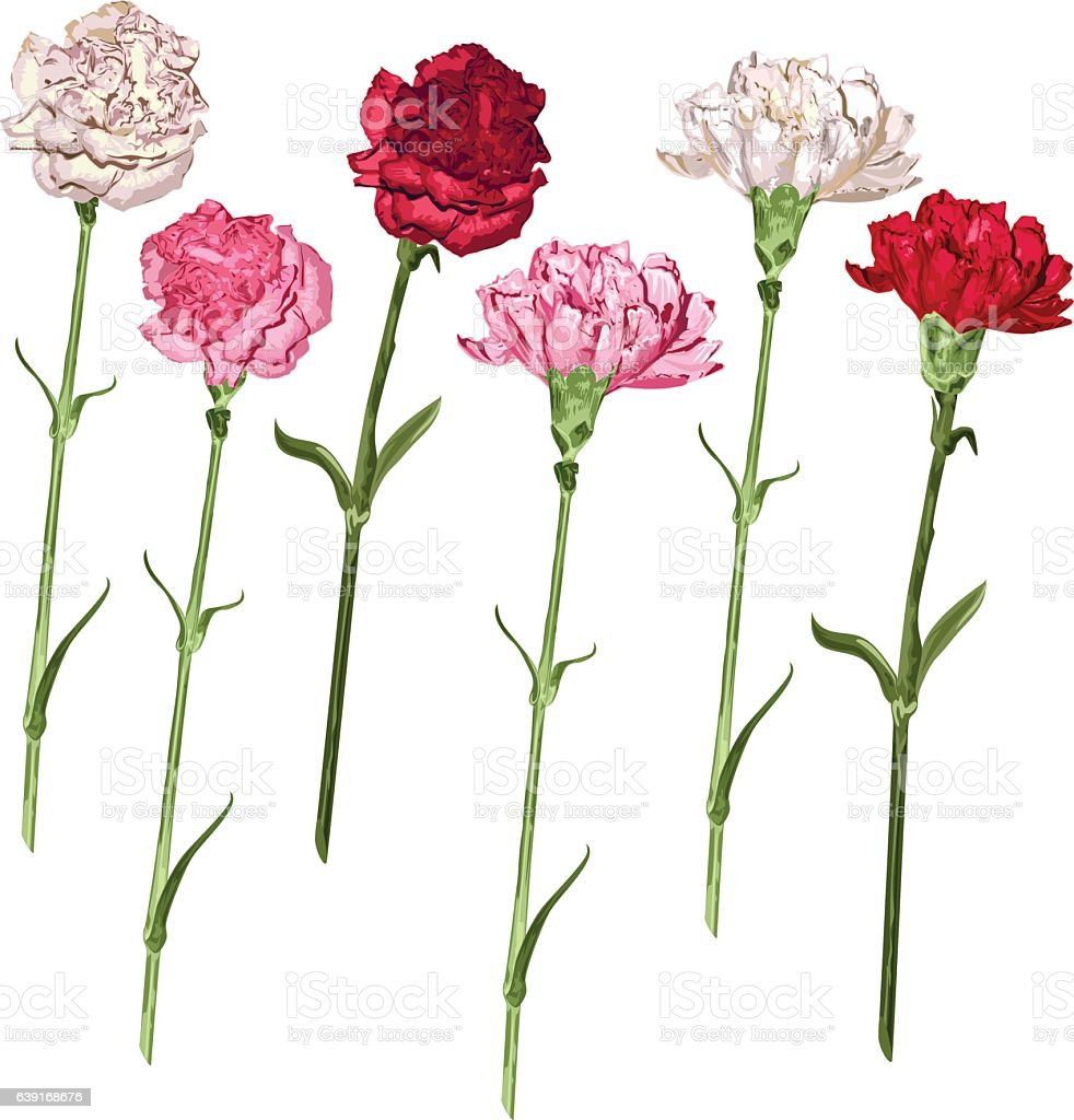 Set carnation flowers. White, pink and red carnation