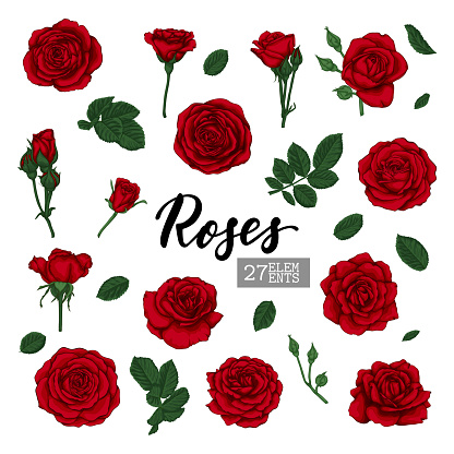 Set Collection Red Roses and leaves realistic isolated on white background. design elements for greeting card and invitation of the wedding, birthday, Valentine's Day, mother's day and other holiday