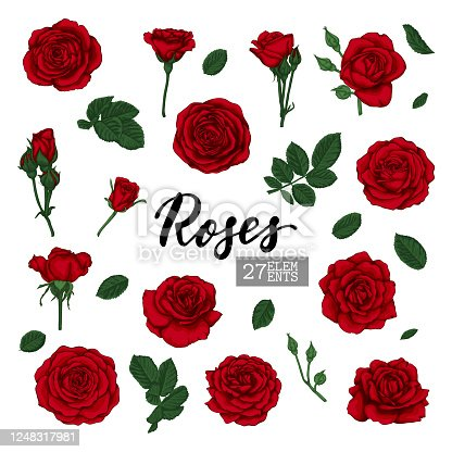 Set Collection Red Roses and leaves drawn isolated on white background. design elements for greeting card and invitation of the wedding, birthday, Valentine's Day, mother's day and other holiday.