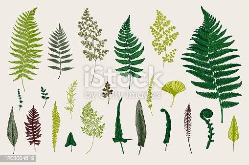 Set Ferns. Vintage vector botanical illustration. Colorful