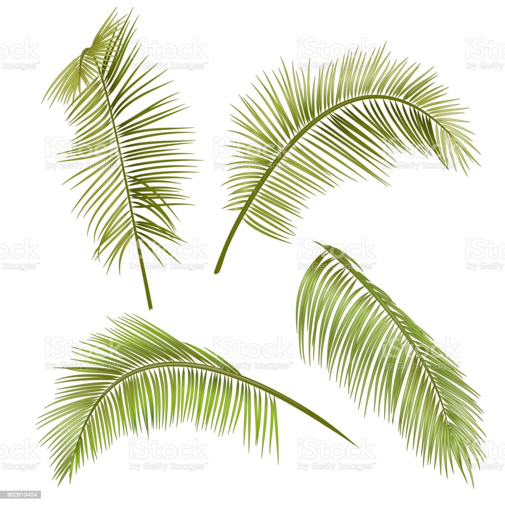 Set Green Leaves Of Tropical Plant Coconut Palm On White Background Digital Draw Realistic Vector Botanical Illustration For Design Stock Illustration Download Image Now Istock