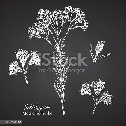 istock Set hand drawn of immortelle italian, Helichrysum flowers in white color isolated on chalkboard background. Retro vintage graphic design. Botanical sketch drawing, engraving style. 1297740468