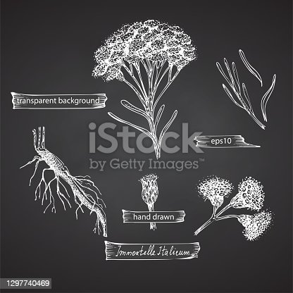 istock Set hand drawn of immortelle italian, Helichrysum flowers in white color isolated on chalkboard background. Retro vintage graphic design. Botanical sketch drawing, engraving style. 1297740469