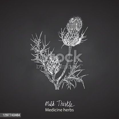 istock Set hand drawn of Milk Thistle, lives and flowers in White color isolated on chalkboard background. Retro vintage graphic design. Botanical sketch drawing, engraving style. Vector. 1297740464