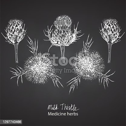 istock Set hand drawn of Milk Thistle, lives and flowers in White color isolated on chalkboard background. Retro vintage graphic design. Botanical sketch drawing, engraving style. Vector. 1297740466