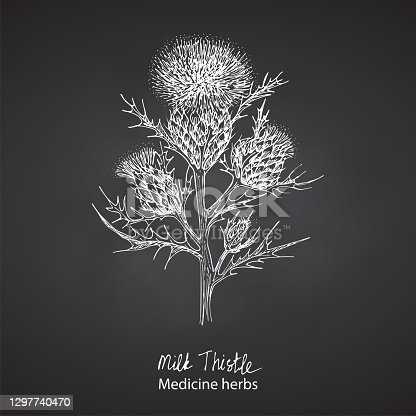 istock Set hand drawn of Milk Thistle, lives and flowers in White color isolated on chalkboard background. Retro vintage graphic design. Botanical sketch drawing, engraving style. Vector. 1297740470