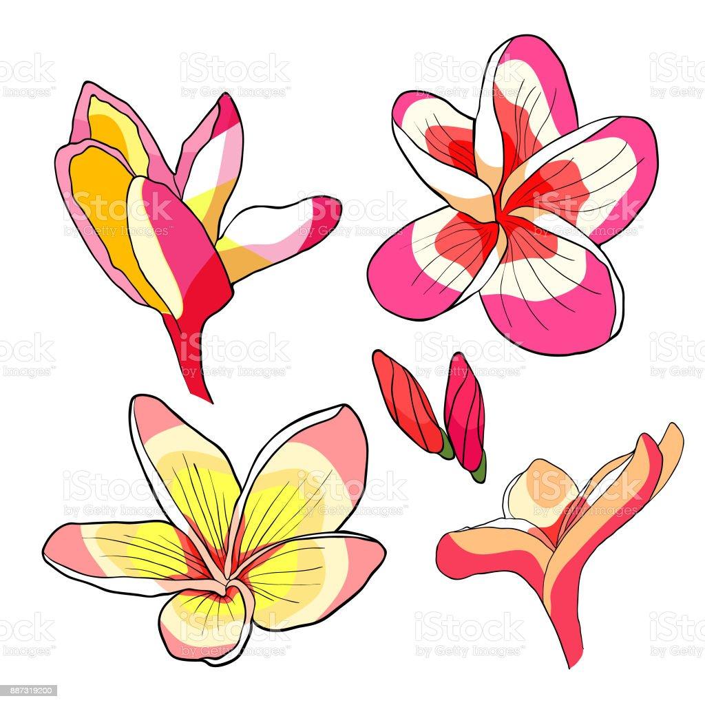 Set Hawaiian Plumeria Flower An Exotic Vector Illustration Stock