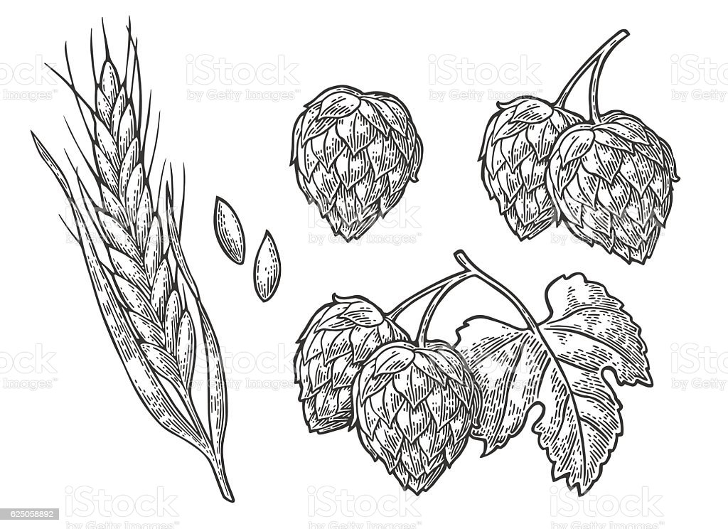 Set hop herb plants with leaf and Ear of wheat. vector art illustration