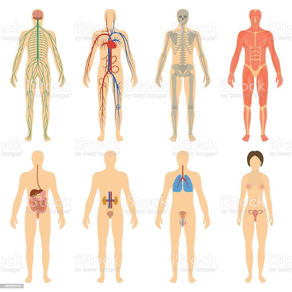 Conjunto De órganos Y Sistemas Del Cuerpo De Vitalidad - Arte ...