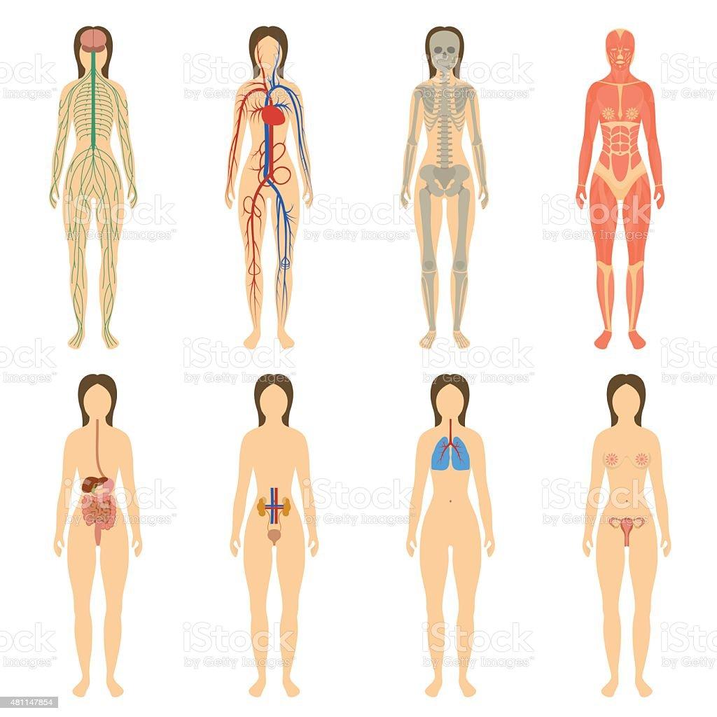Mit Menschlichen Organen Und Systemen Innerhalb Des Körpers ...