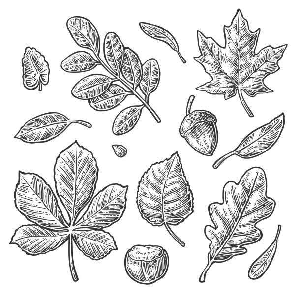 Set leaf, acorn, chestnut and seed. Vector vintage engraved illustration. Set leaf, acorn, chestnut and seed. Vector vintage black engraved illustration. Isolated on white background oak leaf stock illustrations