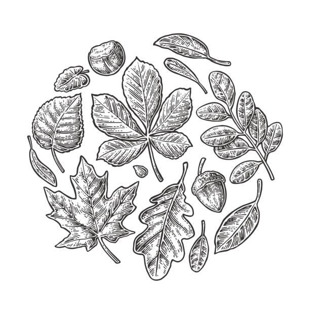 Set leaf. Vector vintage engraved illustration. Set leaf. Vector vintage engraved illustration. Isolated on white background oak leaf stock illustrations