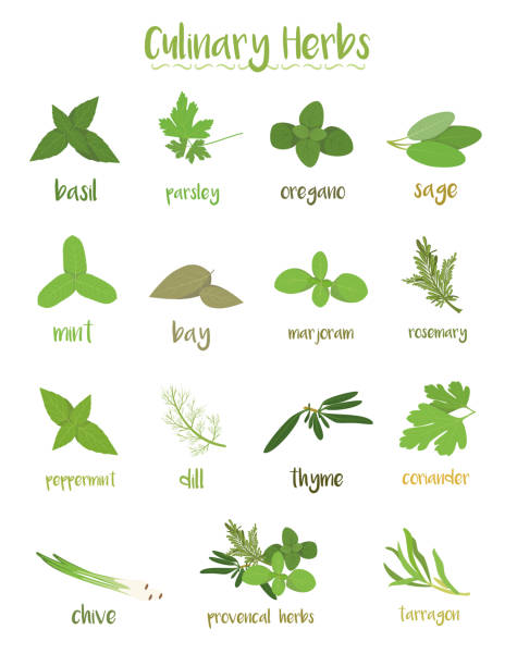 Set of 15 different culinary herbs in cartoon style. Set of 15 different culinary herbs in cartoon style. mint leaf culinary stock illustrations