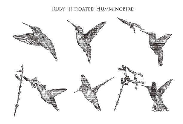 Set of 6 Ruby Throated Hummingbirds Set of 6 Ruby Throated Hummingbirds hummingbird stock illustrations