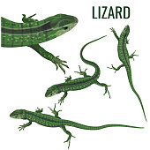 Collection of lizards in various poses. Vector illustration isolated on white background
