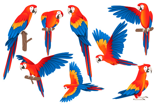 Set of adult parrot of red-and-green macaw Ara (Ara chloropterus) cartoon bird design flat vector illustration isolated on white background