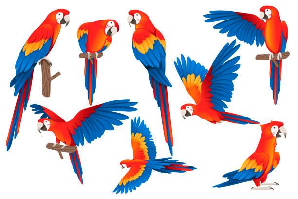 set von erwachsenen papagei von rot-grünen ara ara (ara chloropterus) cartoon vogel design flache vektor-illustration isoliert auf weißem hintergrund - maul stock-grafiken, -clipart, -cartoons und -symbole