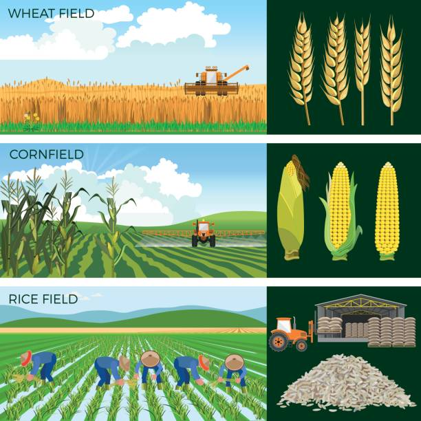 Set of agricultural fields. Set of agricultural fields- wheat, maize, rice. Vector illustrations. corn crop stock illustrations