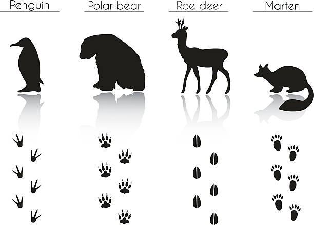 satz von tier-und vogel-trails mit namen. - reh stock-grafiken, -clipart, -cartoons und -symbole