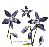 istock set of aquilegia vulgaris flowers with blossomed buds and not yet blossomed, branches with leaves 1038257070