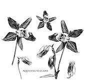 istock set of aquilegia vulgaris flowers with blossomed buds and not yet blossomed, branches with leaves 1038257076