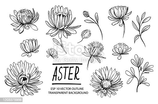 Set of aster flowers. Hand drawn outline converted to vector
