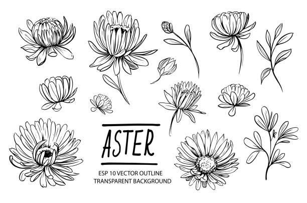 stockillustraties, clipart, cartoons en iconen met een set aster bloemen. handgetekende omtrek omgezet in vector - chrysant